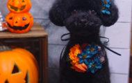 東京都大田区のペットサロン・トリミング☆トイプードルのテディベアカット,ハロウィン写真 DEAR DOG