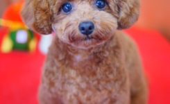 大田区のトリミングサロンDEAR DOGS☆トイプードルのカットスタイル テディベア アフロ