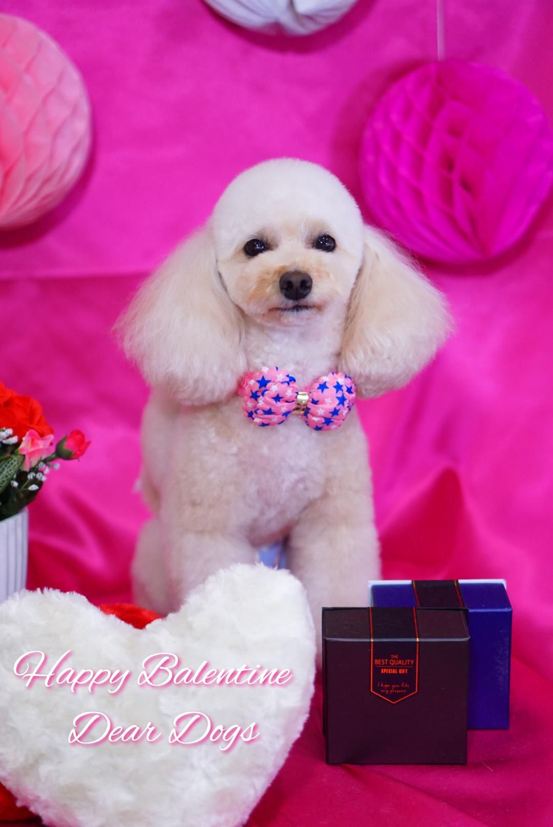 トイプードルのテディベアカット☆大田区「洗足池 石川台 久が原 」ペットトリミングサロンDEAR DOGS