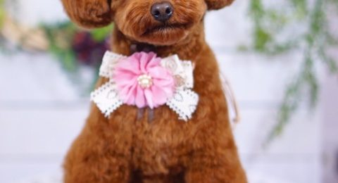 トイプードルのテディベアスタイル*大田区洗足池のペットトリミングサロンDEAR DOGS