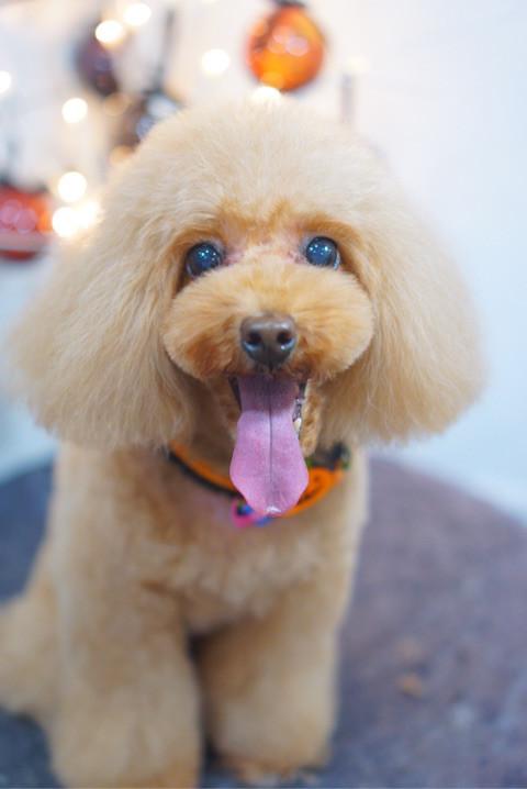 トイプードルのカット☆ロングマッシュ 大田区「洗足池 御嶽山 久が原 」ペットトリミングサロンDEAR DOGS