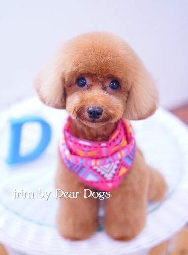 トイプードルのパピー風テディベアスタイル:大田区洗足池のペットトリミングサロンDEAR DOGS