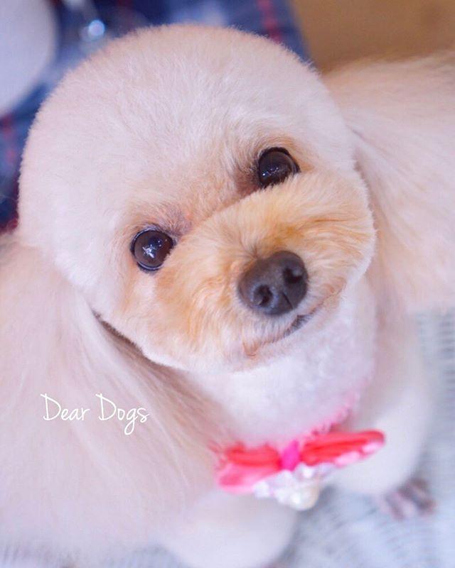 トイプードルのテディベアカット|大田区「久が原 雪が谷大塚 石川台 」ペットトリミングサロンDEAR DOGS