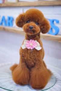 トイプードルのテディベア・ボンボン足スタイル;︎大田区洗足池のペットトリミングサロンDEAR DOGS