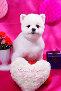 ポメラニアンの柴犬カット☆大田区のペットトリミングサロンDEAR DOGS