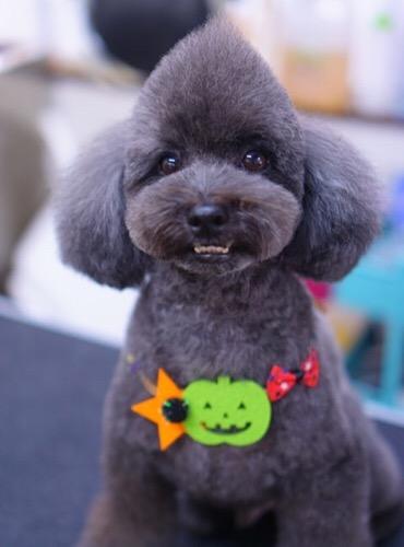 トイプードルのソフトモヒカン☆大田区「洗足池 石川台 久が原 」ペットトリミングサロンDEAR DOGS