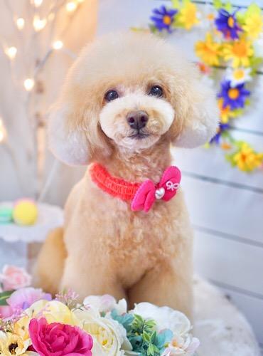 トイプードルのマッシュルームカット☆大田区「久が原 雪が谷大塚 石川台 」ペットトリミングサロンDEAR DOGS
