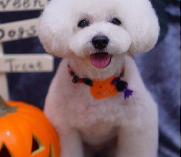 トイプードルのアフロカット☆大田区「洗足池 石川台 久が原 」ペットトリミングサロンDEAR DOGS