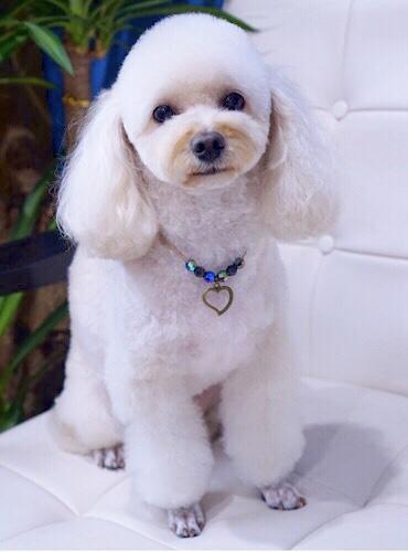 トイプードルのロングイヤーテディベアカット☆大田区「洗足池 西馬込 長原 」ペットトリミングサロンDEAR DOGS
