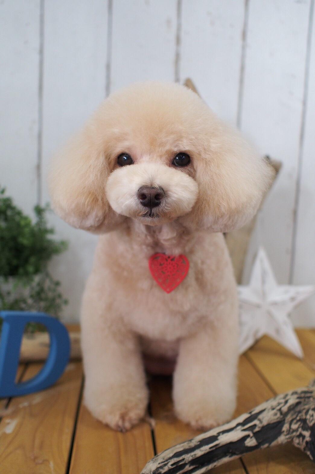 マルプーの藍ちゃん☆大田区「洗足池 西馬込 長原 」ペットトリミングサロンDEAR DOGS