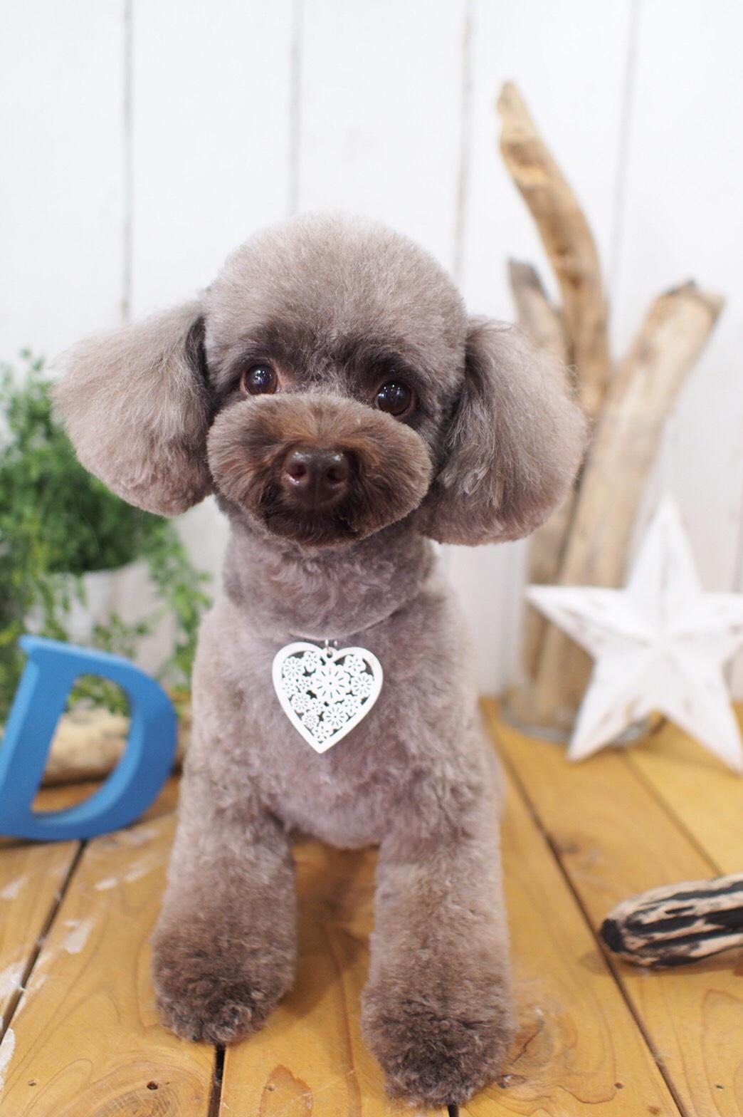 トイプードルのココちゃん☆大田区「久が原 雪が谷大塚 石川台 」ペットトリミングサロンDEAR DOGS