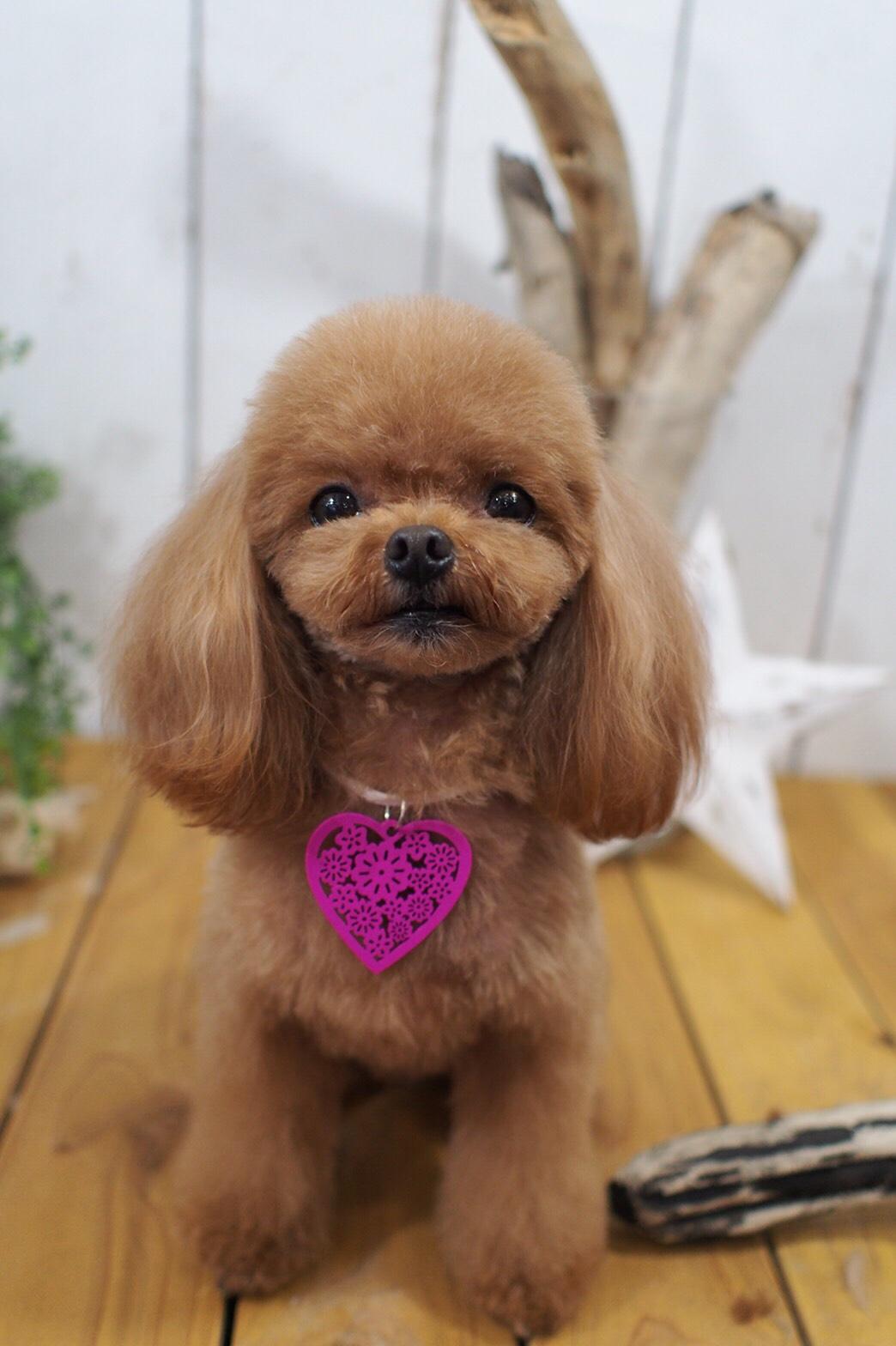 ティーカッププードルのきなこちゃん☆大田区「洗足池 石川台 久が原 」ペットトリミングサロンDEAR DOGS