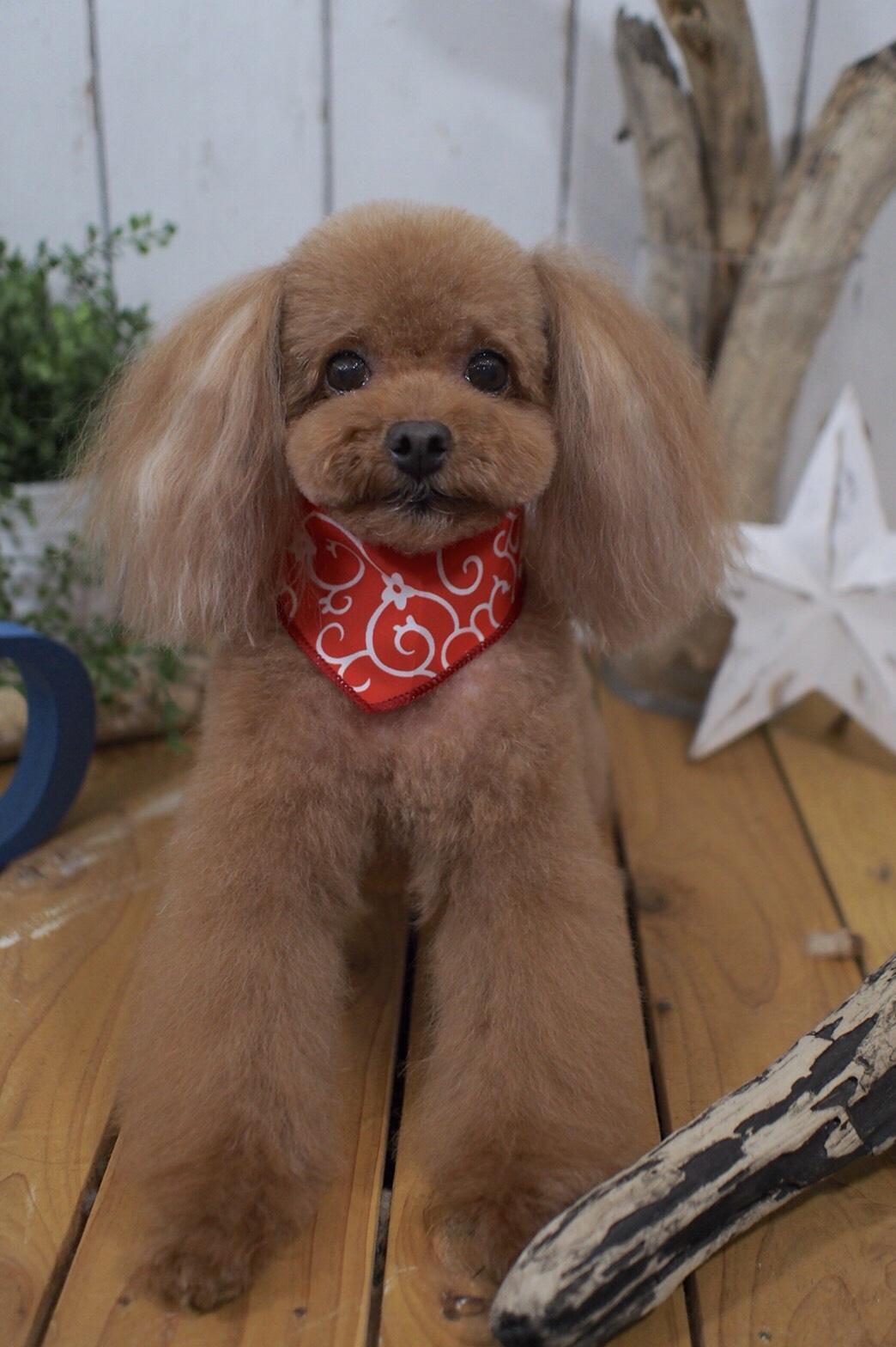 トイプードルのでリアンちゃん☆大田区「洗足池 西馬込 長原 」ペットトリミングサロンDEAR DOGS