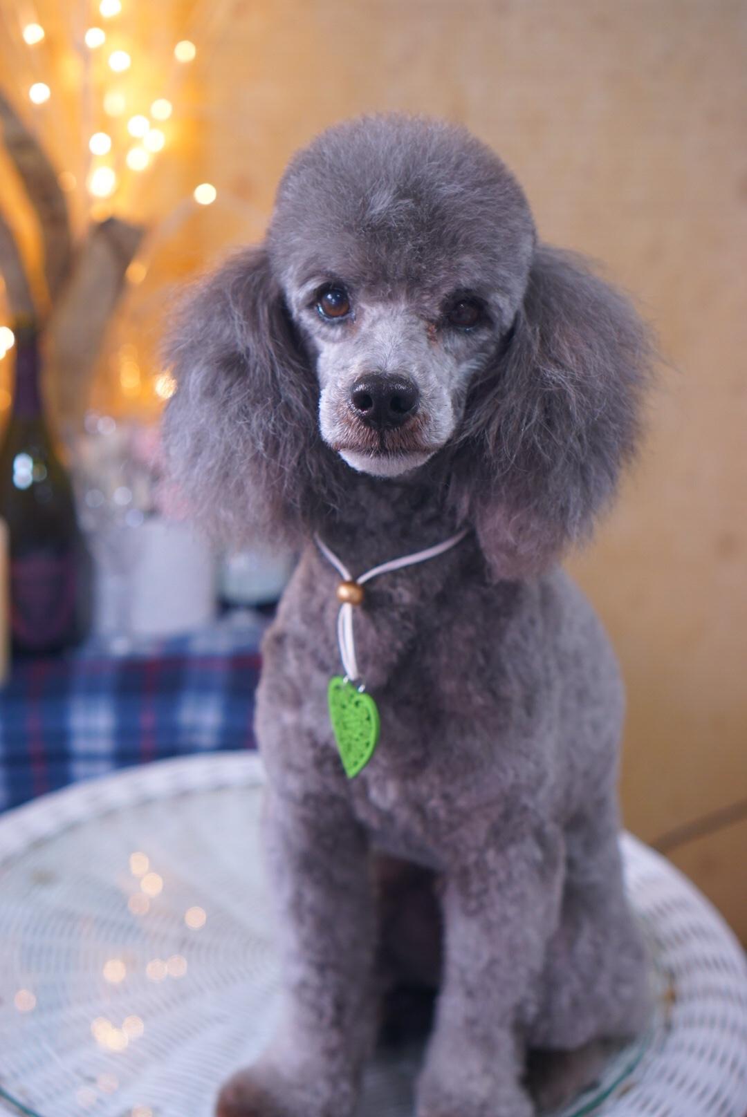 トイプードルのフランちゃん☆大田区「久が原 雪が谷大塚 石川台 」ペットトリミングサロンDEAR DOGS