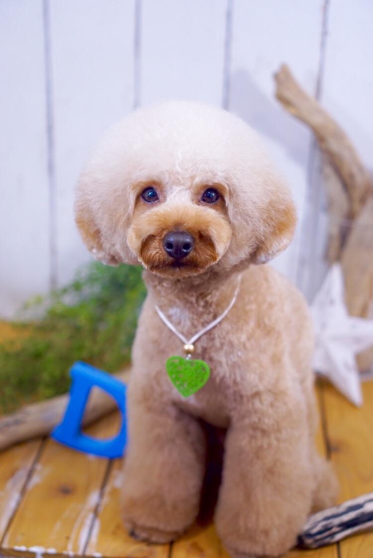 トイプードルのアフロカット 彬ちゃん☆大田区「洗足池 石川台 久が原 」ペットトリミングサロンDEAR DOGS