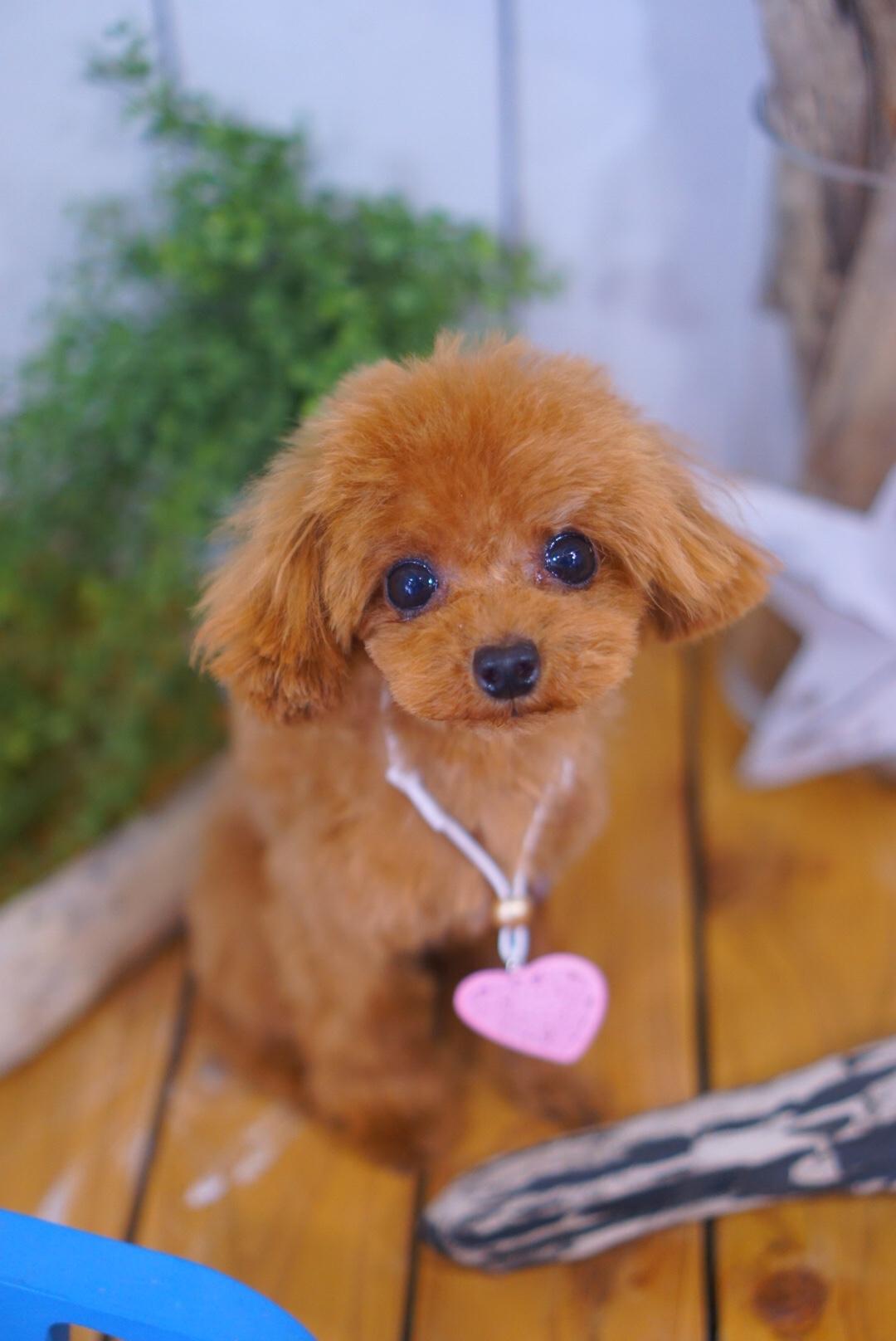 ティーカッププードルのテディベア☆大田区「久が原 雪が谷大塚 石川台 」ペットトリミングサロンDEAR DOGS