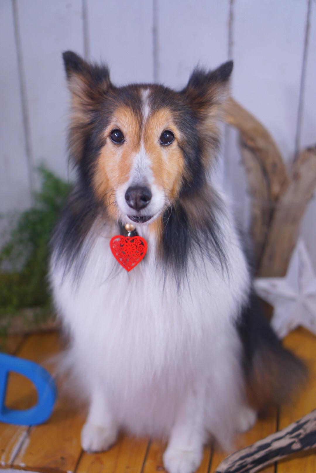シェルティのトリミング☆大田区「久が原 雪が谷大塚 石川台 」ペットトリミングサロンDEAR DOGS