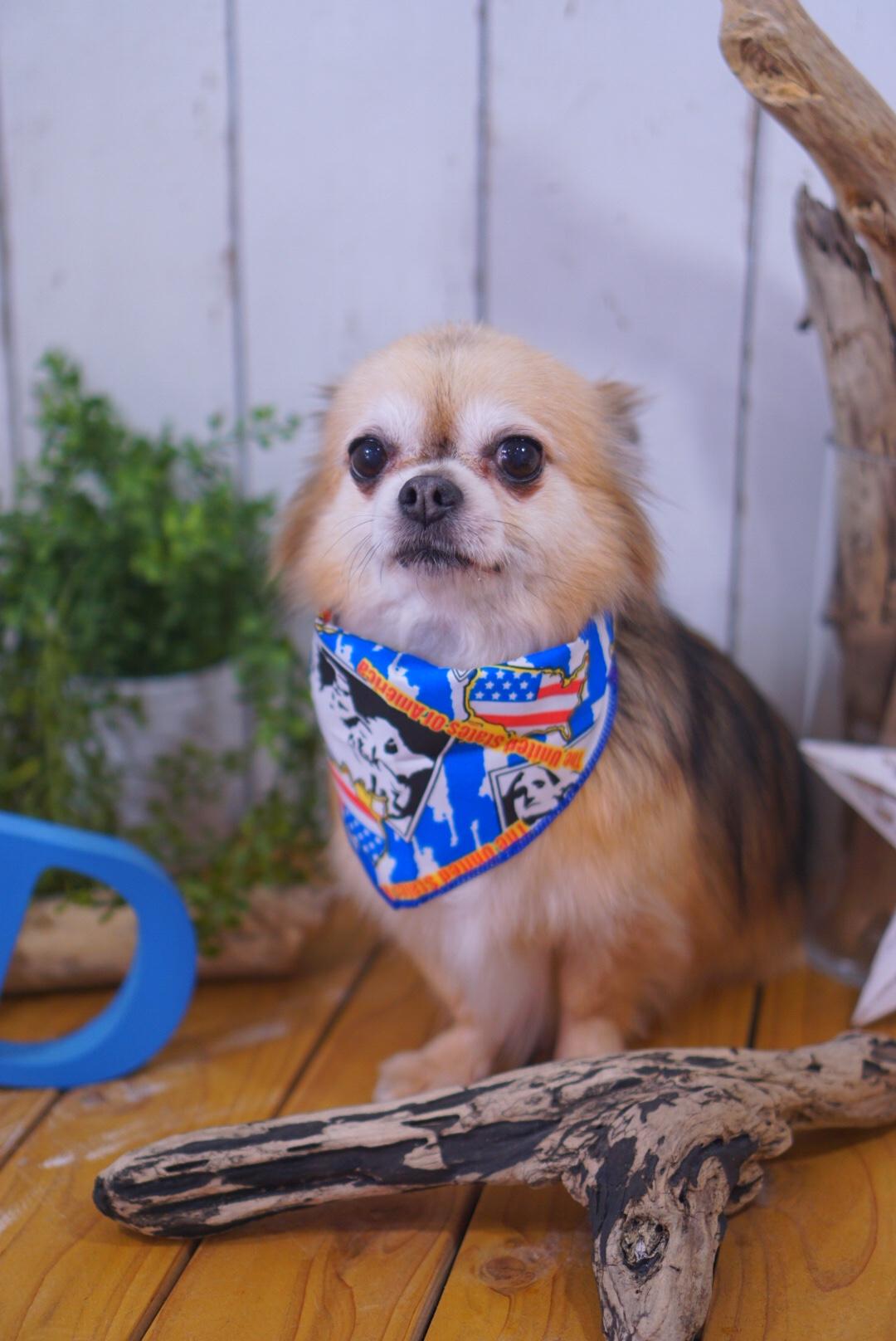 チワワのケンタちゃん☆大田区「久が原 雪が谷大塚 石川台 」ペットトリミングサロンDEAR DOGS
