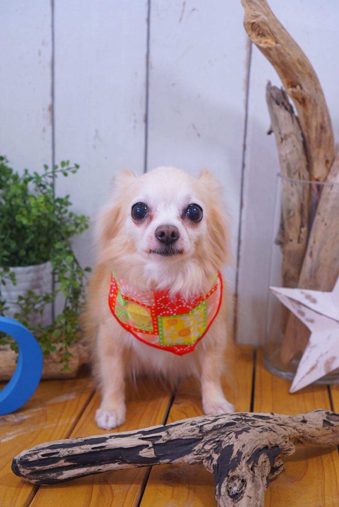 チワワのサクラちゃん☆大田区「久が原 雪が谷大塚 石川台 」ペットトリミングサロンDEAR DOGS
