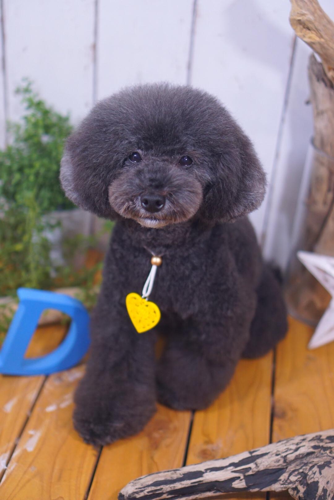 トイプードルのPOPちゃん☆大田区「久が原 雪が谷大塚 石川台 」ペットトリミングサロンDEAR DOGS