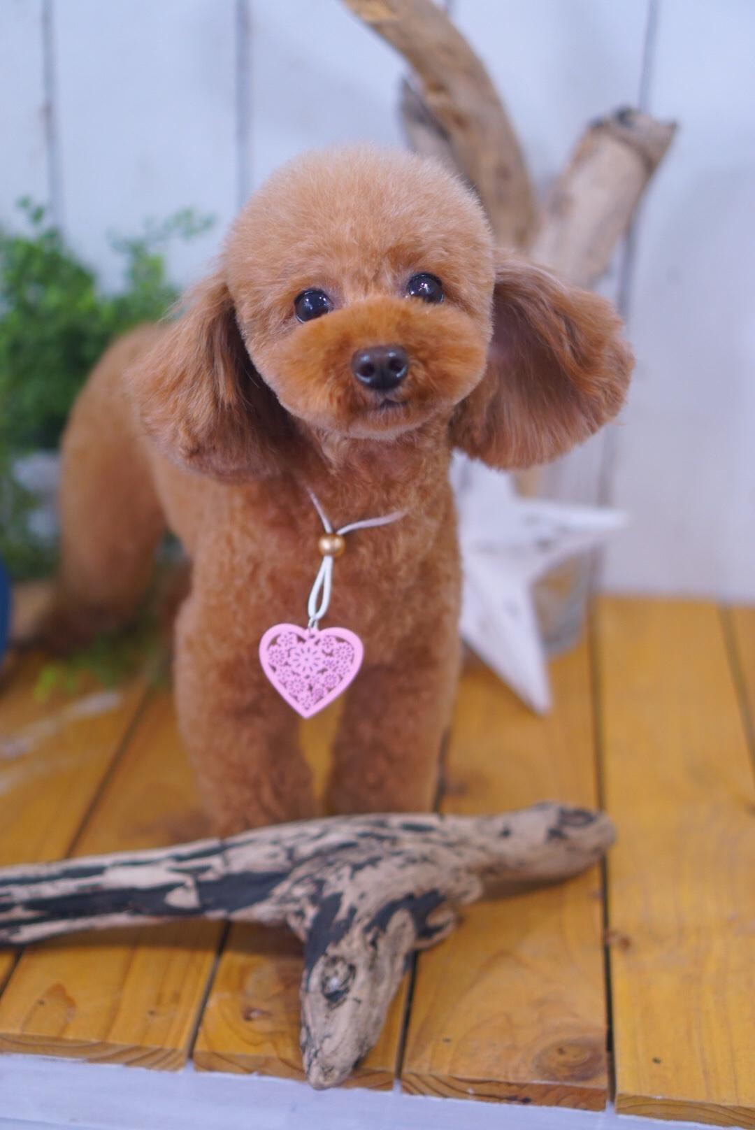 トイプードルのチロルちゃん☆大田区「洗足池 西馬込 長原 」ペットトリミングサロンDEAR DOGS