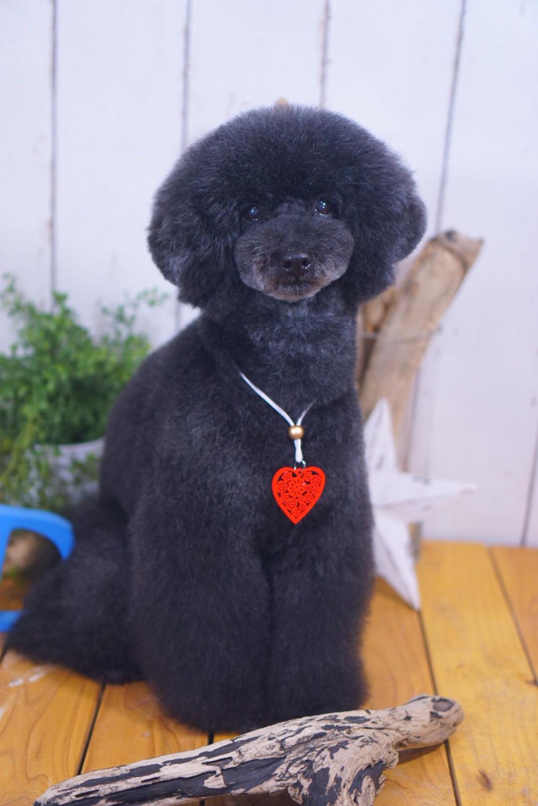 トイプードルのアイちゃん☆大田区「洗足池 久が原 石川台」ペットトリミングサロンDEAR DOGS