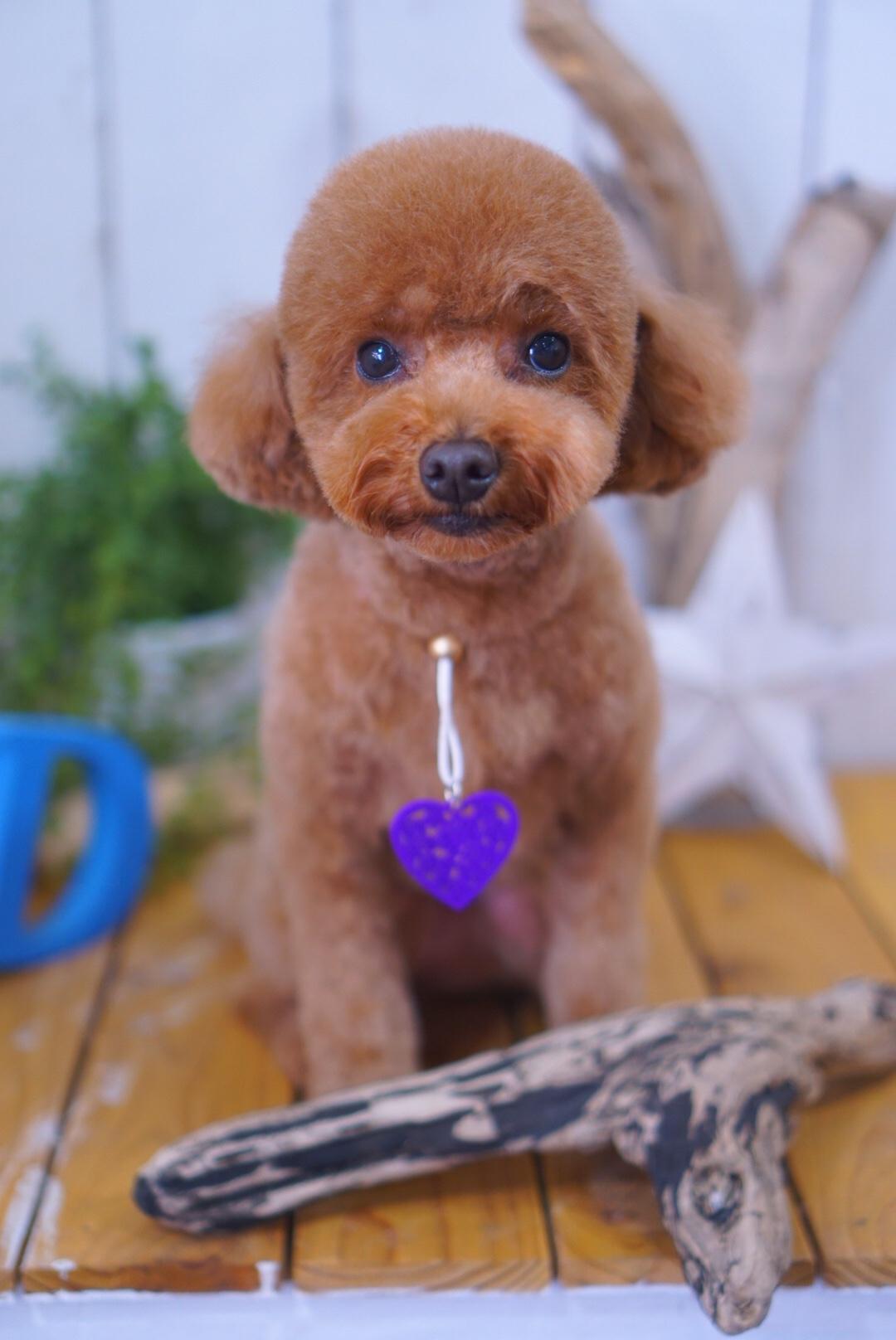 トイプードルのはなちゃん☆大田区「洗足池 久が原 長原」ペットトリミングサロンDEAR DOGS