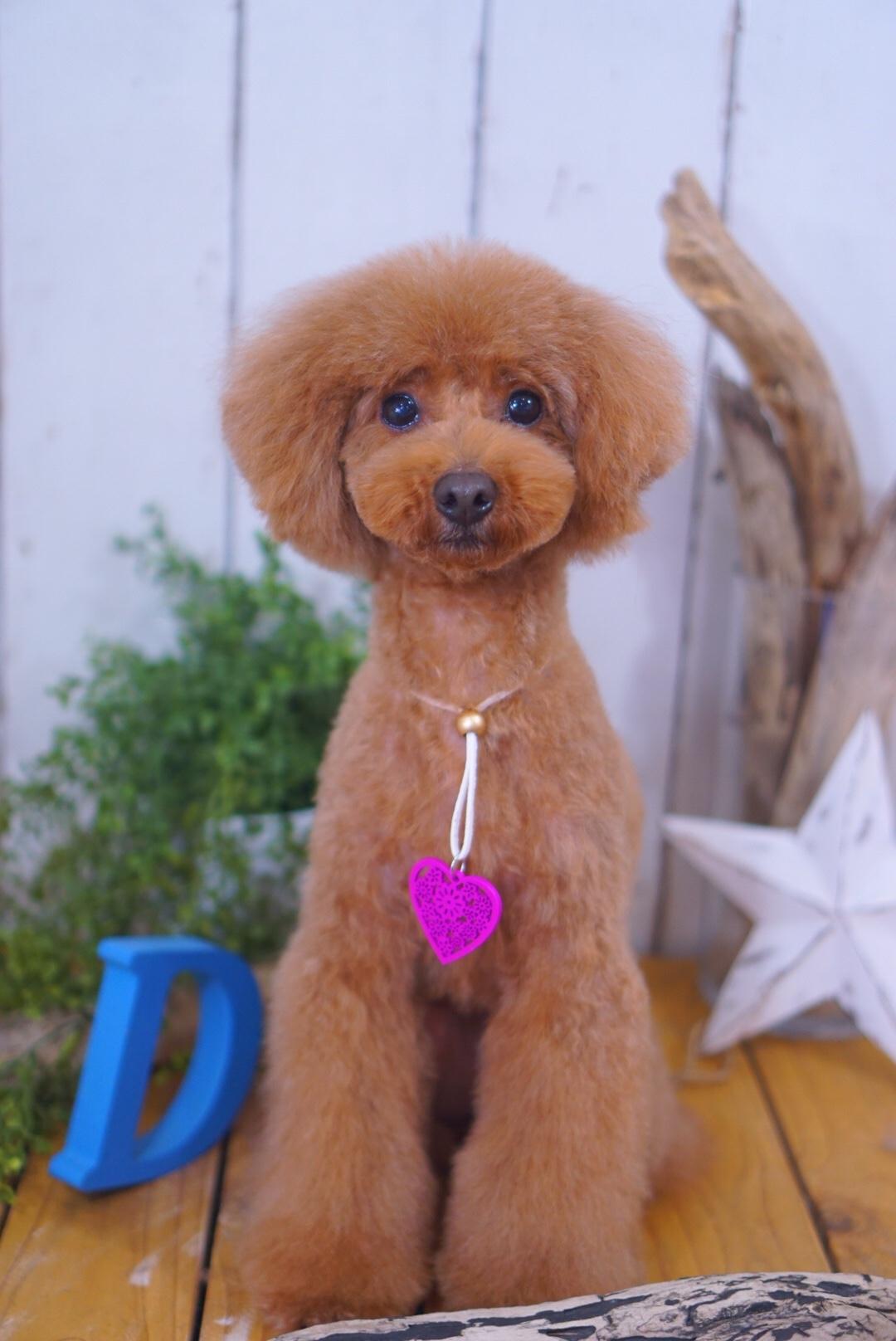 トイプードルのチャイちゃん☆大田区「洗足池 久が原 長原」ペットトリミングサロンDEAR DOGS