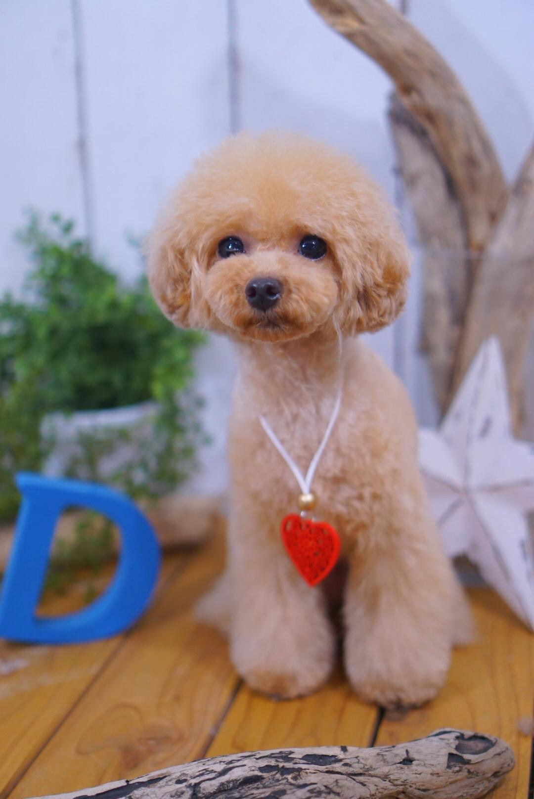 トイプードルの小梅ちゃん☆大田区「洗足池 久が原 長原」ペットトリミングサロンDEAR DOGS
