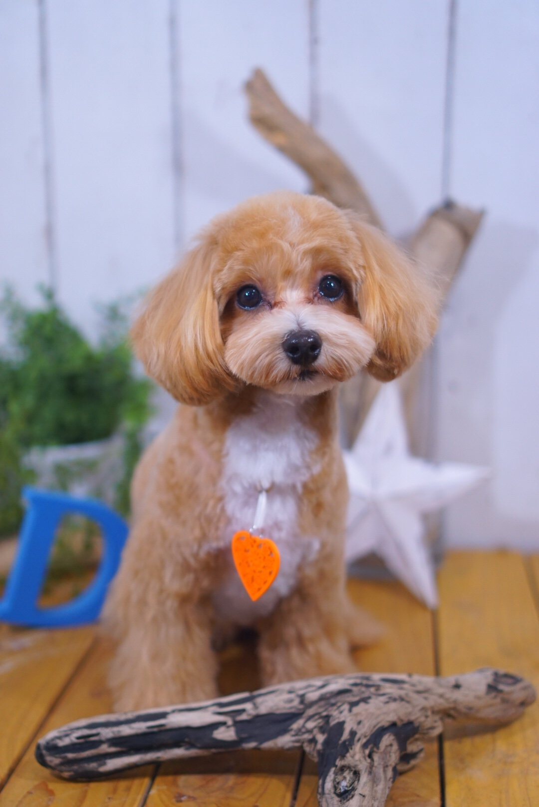 マルプーのルークちゃん☆大田区「洗足池 久が原 長原」ペットトリミングサロンDEAR DOGS