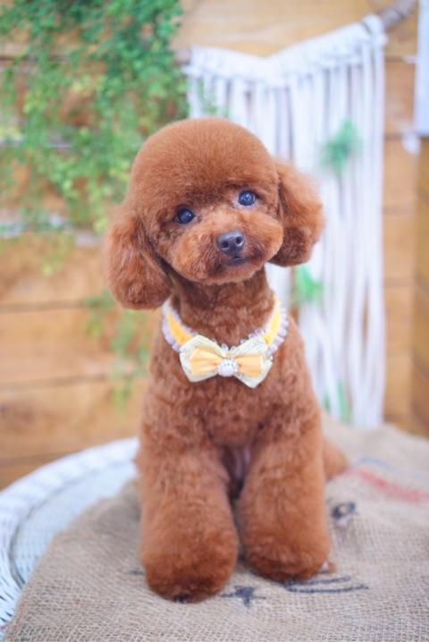 トイプードルのテディベアスタイル:大田区洗足池のペットトリミングサロンDEAR DOGS