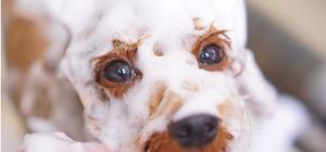 トイプードルのバナー画像✂︎大田区洗足池のペットトリミングサロンDEAR DOGS