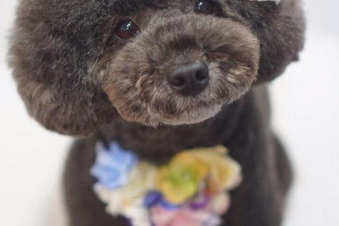 トイプードルのアフロ・マッシュルームスタイル✂︎大田区洗足池のペットトリミングサロンDEAR DOGS