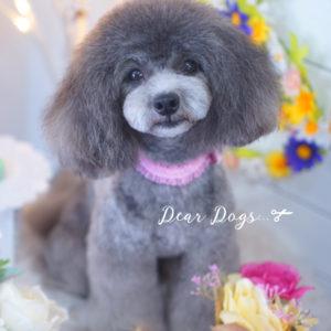トイプードルのロングマッシュスタイル☆大田区洗足池のペットトリミングサロンDEAR DOGS