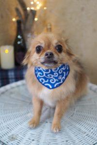 チワワのリンちゃん☆大田区「久が原 雪が谷大塚 石川台 」ペットトリミングサロンDEAR DOGS